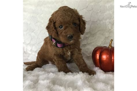 goldendoodle puppies for sale buffalo ny beautiful mini goldendoodle puppies