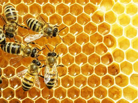 Sprei Honey Bee widespread honey bee in south carolina after aerial