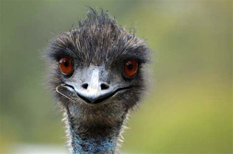 funny  kind  scary emu   youtube muvee