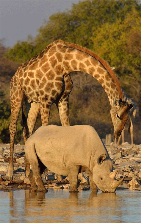 odd africa duncan blackburn odd couples rhinos and giraffe