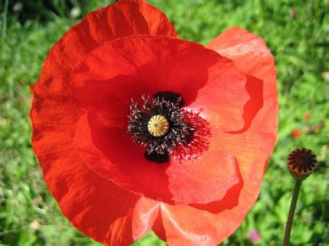 free pictures poppies 46 images found