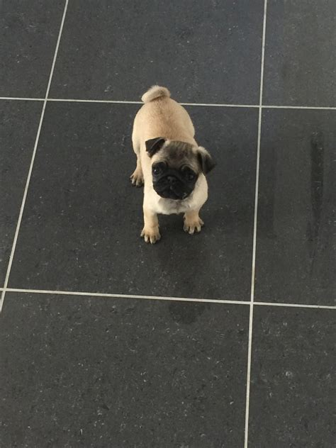 12 week pug puppy gorgeous 12 week pug puppy kc reg chester cheshire pets4homes