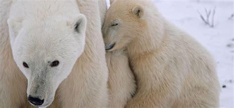 Wild Nature Sweepstakes - polar bear adventure sweepstakes