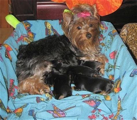 yorkie whelping whelping terrier puppies and breeds picture