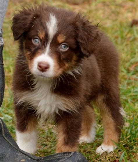 mini american shepherd puppies 8 weeks miniature american shepherd my miniature