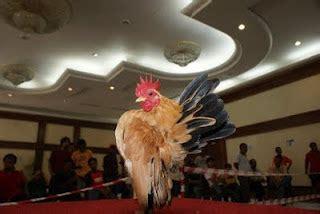 Pakan Ayam Br 5 11 Diberikan Untuk Ayam Pedaging Periode mengenal ayam serama lapan tiga serama farm