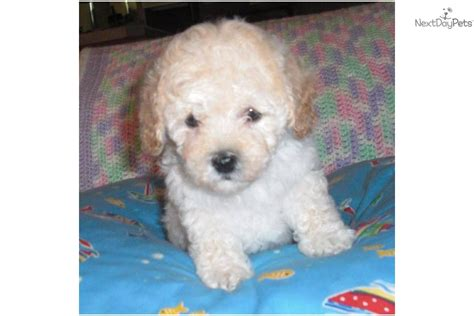 cockapoo puppies for sale in indiana meet sugar a cockapoo puppy for sale for 850 beautiful cockapoo in indiana kentucky