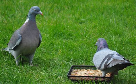 wood pigeon vs rock dove i flickr photo sharing