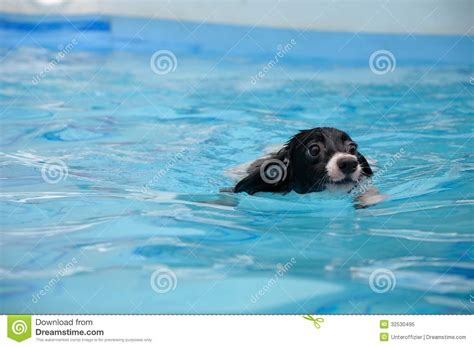 swimming puppy swimming royalty free stock photo image 32530495