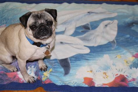 world pug day happy world oceans day about pug