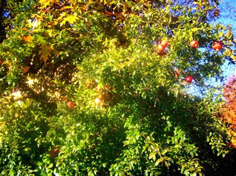 l albero a cui tendevi l albero a cui tendevi la pargoletta mano il verde