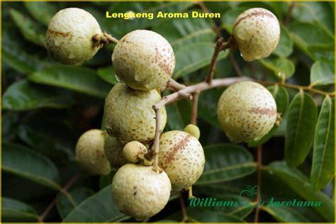jual bibit tanaman buah lengkeng    jual