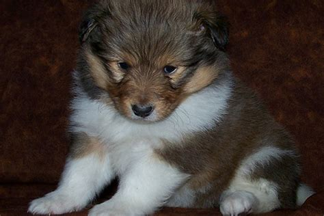 Image Gallery Teacup Shelties