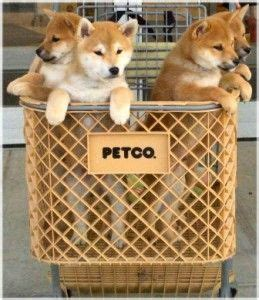 petco puppies for sale 1775 best images about things on ragamuffin bengal cats and corgi