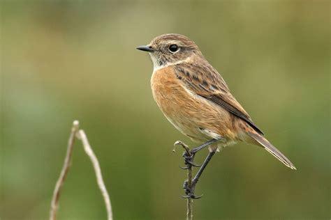 irishbirds ie common birds