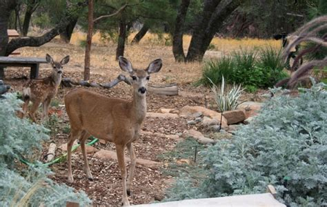 notes from the meadow user friendly deer resistant plant tried and true deer resistant plants for the sierra