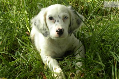 english setter show dogs for sale bella english setter puppy for sale near washington dc