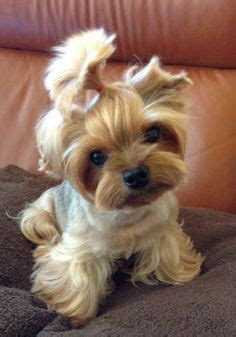 hair cut for tea cup yorkies 1000 images about yorkies are the best on pinterest