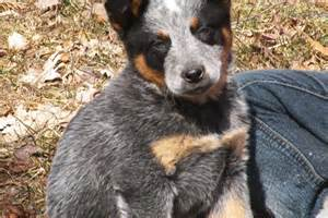 Australian cattle dog blue heeler puppy for sale near battle creek