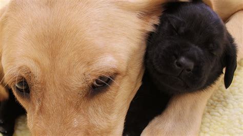 puppies and coddled puppies make poor guide dogs as this adorable shows science aaas