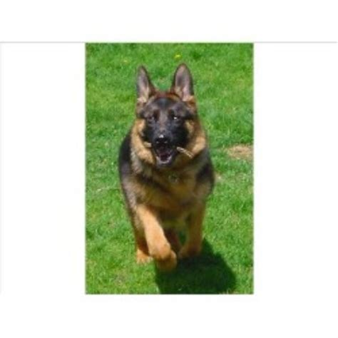 german shepherd puppies for sale in wi german shepherd gsd alsatian breeders in wisconsin freedoglistings
