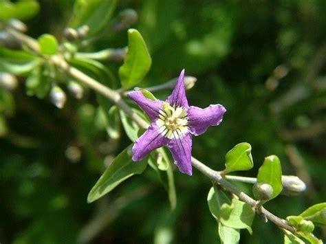 fiori di goji lycium barbarum goji piante officinali lycium barbarum