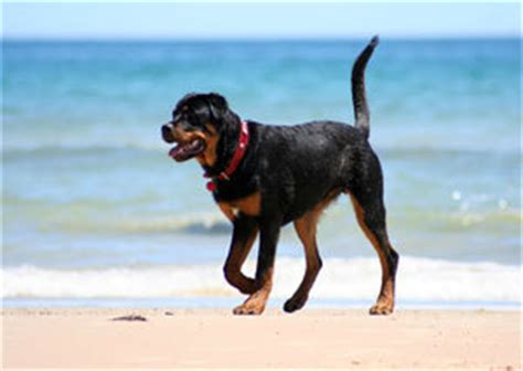 rottweiler markings most that rottweilers are black with markings besides the