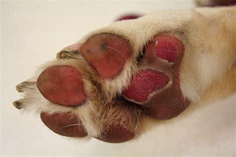 ripped paw pad cut up paw pads health and discussion greytalk