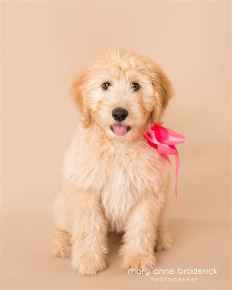 goldendoodle puppy nj nj pet photography goldendoodle puppy 187 new jersey