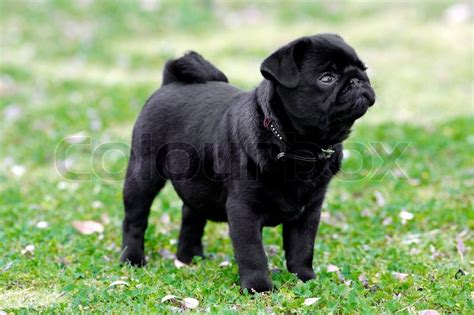photos of black pugs a black pug puppy stock photo colourbox