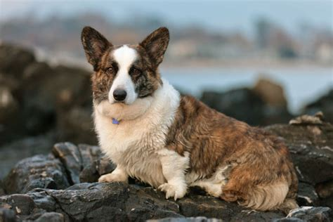 corgi puppies for sale cardigan corgi puppies for sale from reputable breeders