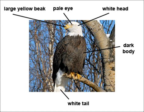 description of bald eagle