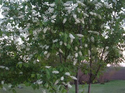 chokecherry red canada green leaf while in bloom then