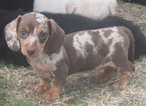 puppies for sale in oklahoma sandcreek pets akc dachshund puppies for sale in oklahoma