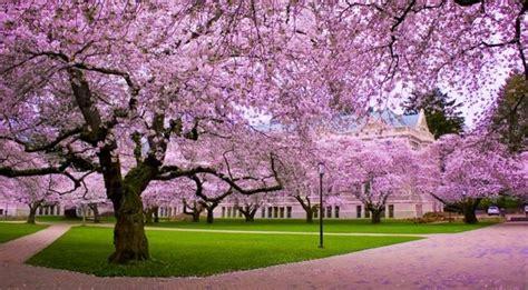 keindahan bunga sakura mekar  kebun raya cibodas