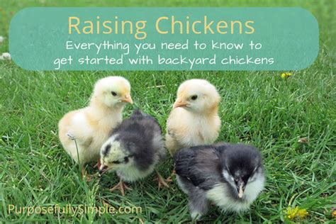 raising chickens how to get started with backyard chickens