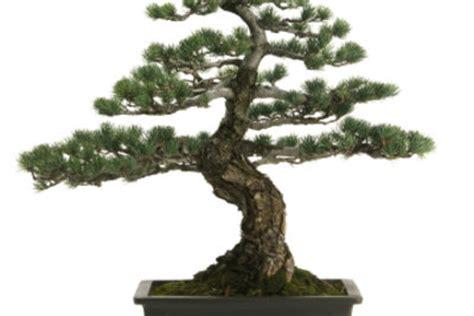 bonsai selber ziehen bonsai selber ziehen eine anleitung