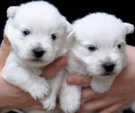 Back gt gallery for gt westie puppies