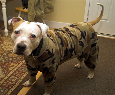 sweaters for pitbulls pet store johns and pitbull on