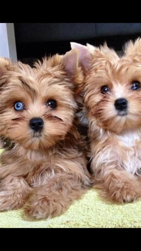 blue eyed yorkie 25 best ideas about yorkie hairstyles on puppies