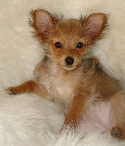 yorkie chiwawa mix pretty yorkie chihuahua puppy mix photo png