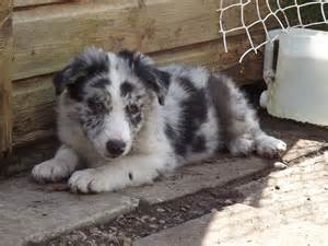 Blue Merle Border Collie Puppies For Sale » Home Design 2017