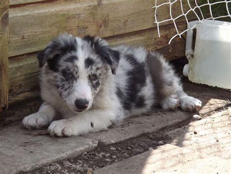 merle border collie puppies sonic dual registered blue merle border collie p birmingham west midlands