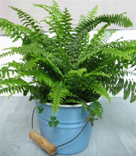 boston fern low light 10 low light houseplants you won t be able to kill