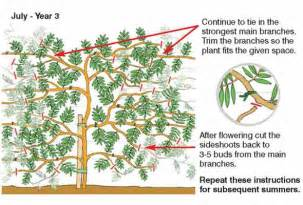 Train Trellis How To Grow Wistera Thompson Amp Morgan