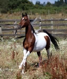 tri color paint horses for sale tri color horses pinterest