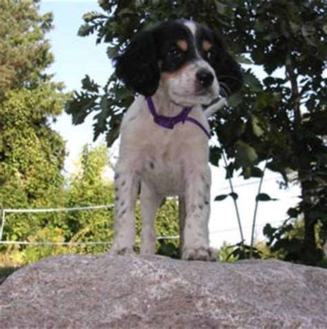 english setter show dogs for sale english setter puppies breeders setters