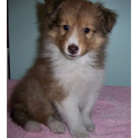 sheltie puppies for sale in indiana shetland sheepdog rescue