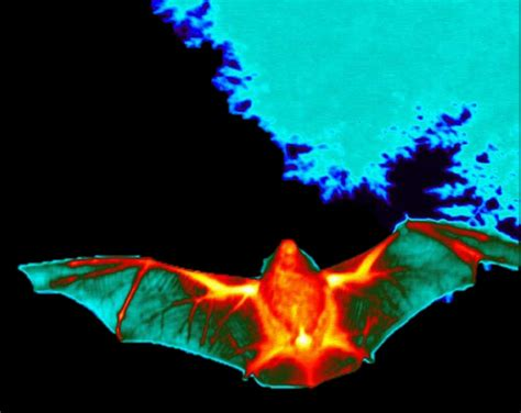 flir thermal imaging new thermal imaging for bat conservation and