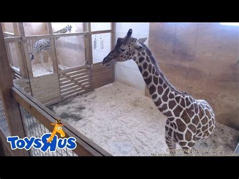 Pregnancy Recorded Live Birth Animal Adventure Parks April The Giraffe Live Birth Archive Footage Mp3fordfiesta